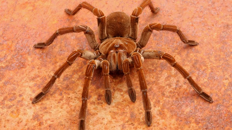 goliath birdeater spider & These are the biggest spiders in the world