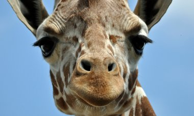 craz-facts-you-never-knew-about-giraffes