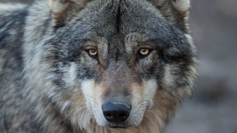 wolf noble face
