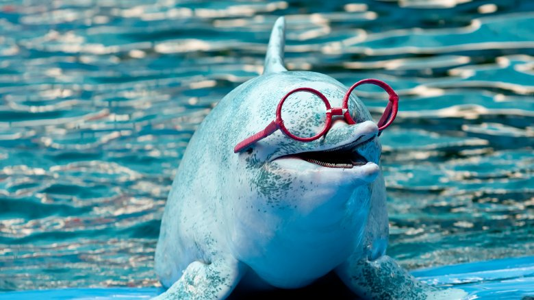 dolphin with glasses