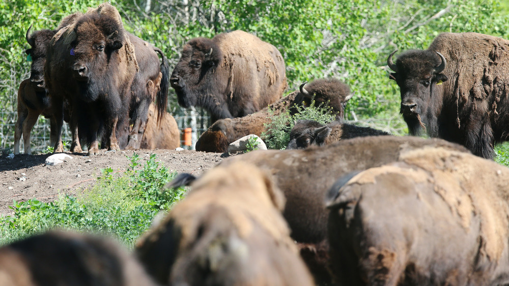 How Did Native Americans Of The Plains Hunt Buffalo?