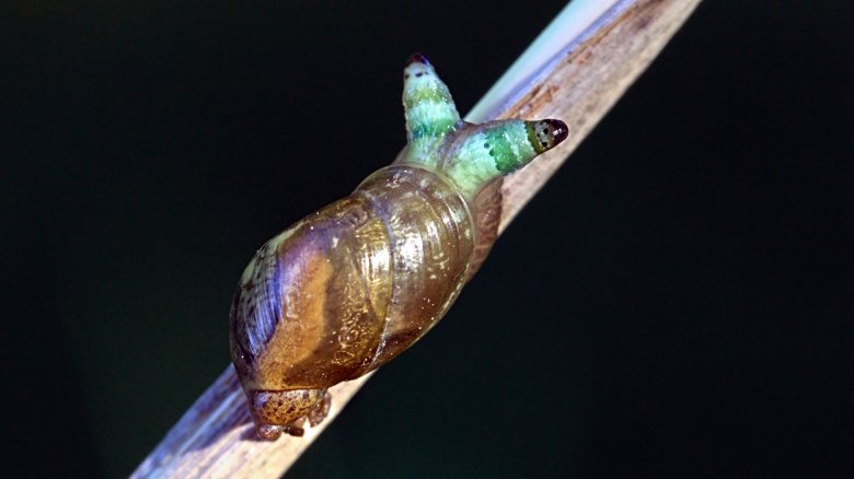 Infected amber snail