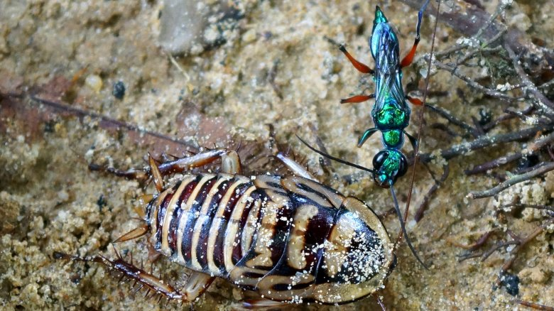 Jewel wasp with cockroach