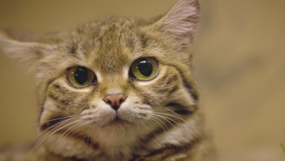 The most aggressive cat breed in the world