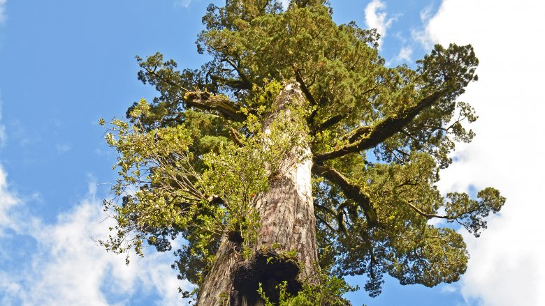 Alerce tree in Chile